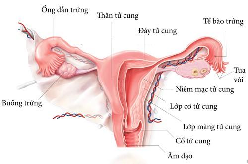 Mối liên hệ giữa niêm mạc tử cung và khả năng thụ thai