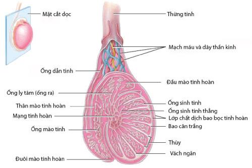 Vai trò của tinh trùng