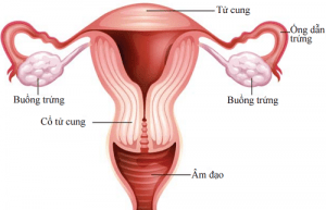 Buồng trứng là cơ quan sinh sản quan trọng của phụ nữ